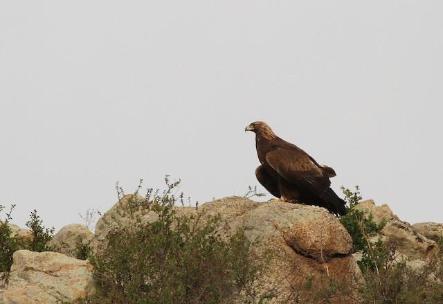 Golden Eagle (Mongolia).