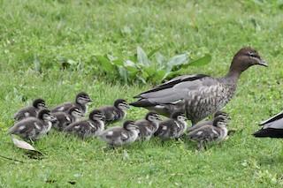 Maned Duck, ML361108371