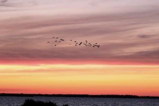 Canada Goose, ML361593681