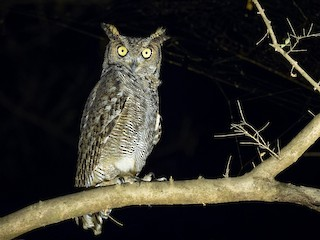 - Arabian Eagle-Owl