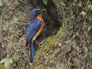 - Javan Blue Flycatcher