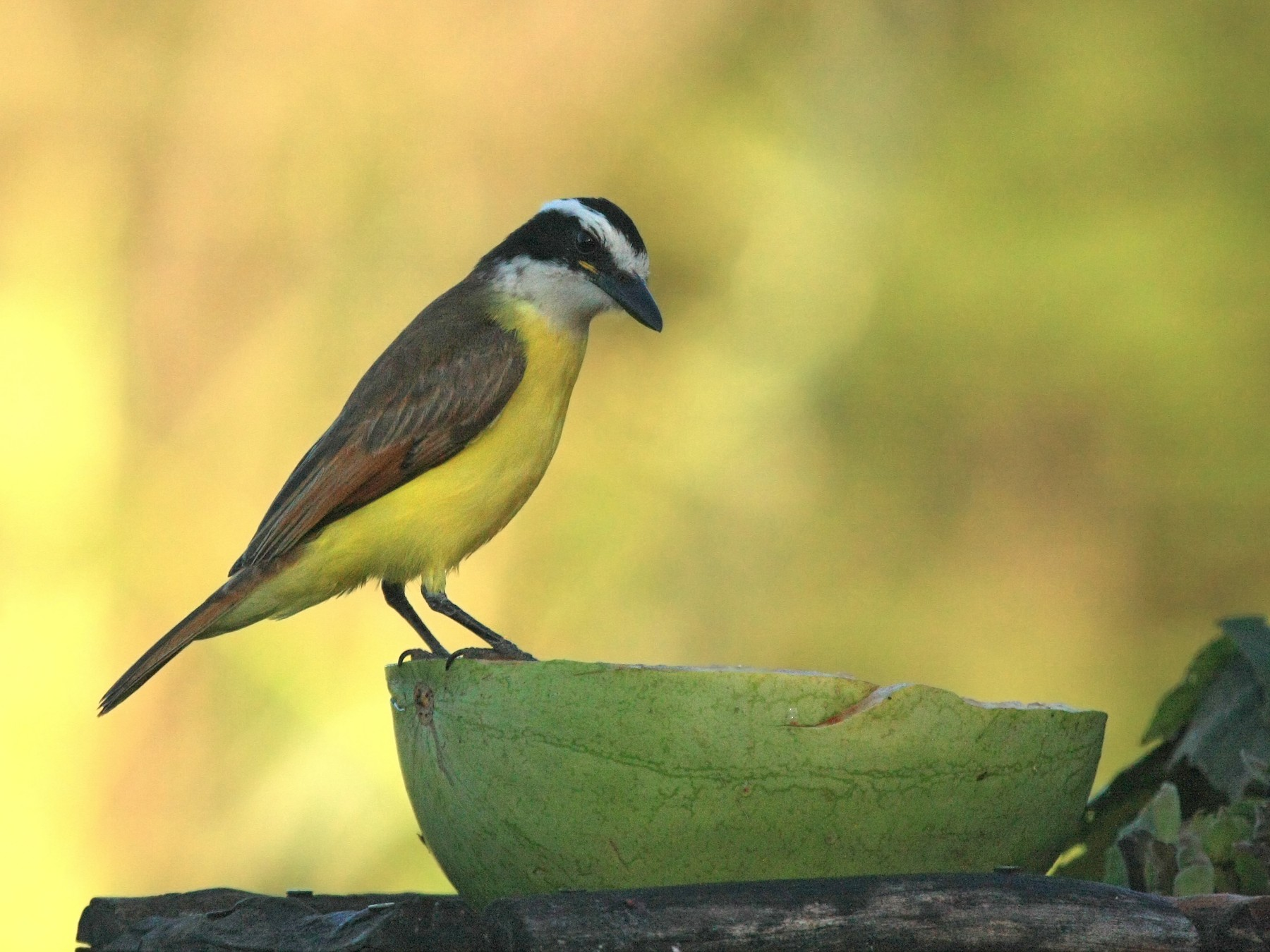 Great Kiskadee - Tim Lenz
