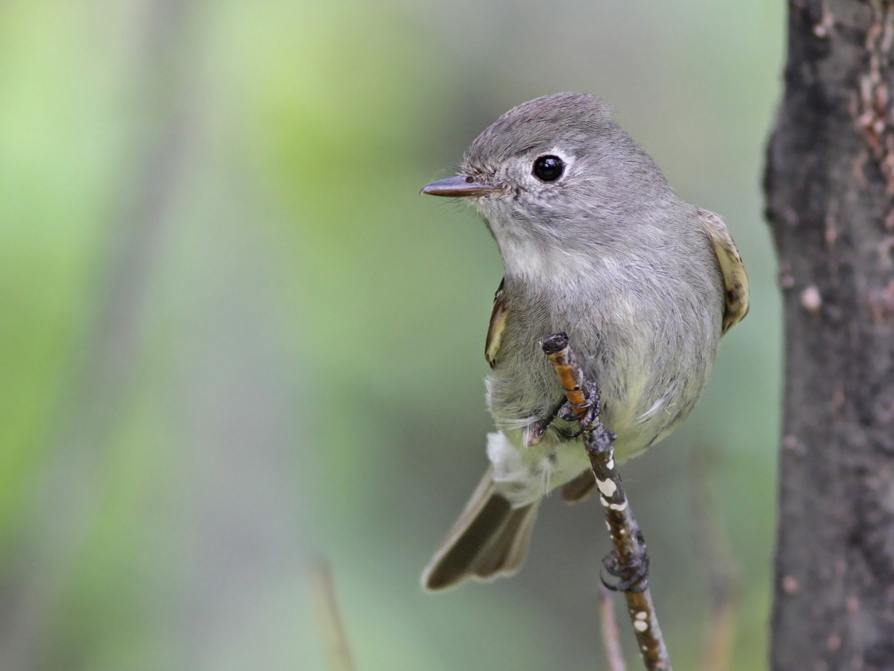 Hammond's Flycatcher - Ian Davies