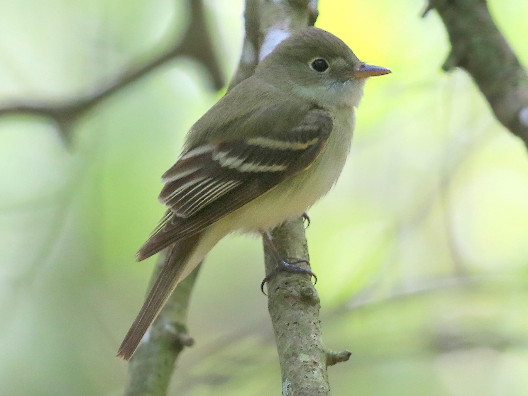 Acadian Flycatcher - Tim Lenz