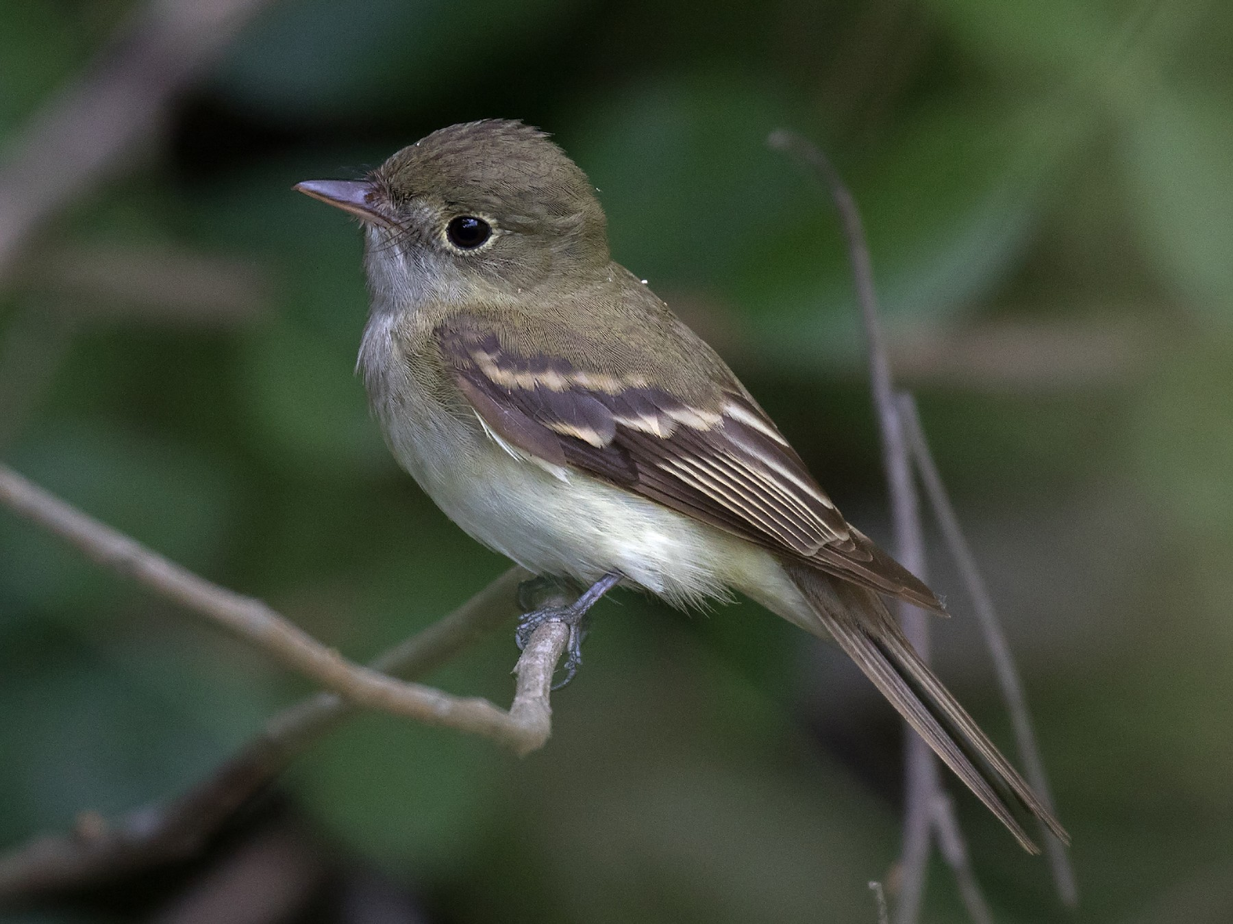 Acadian Flycatcher - Edward Plumer