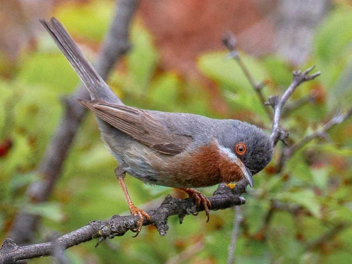 Eastern Subalpine Warbler - Andy Butler