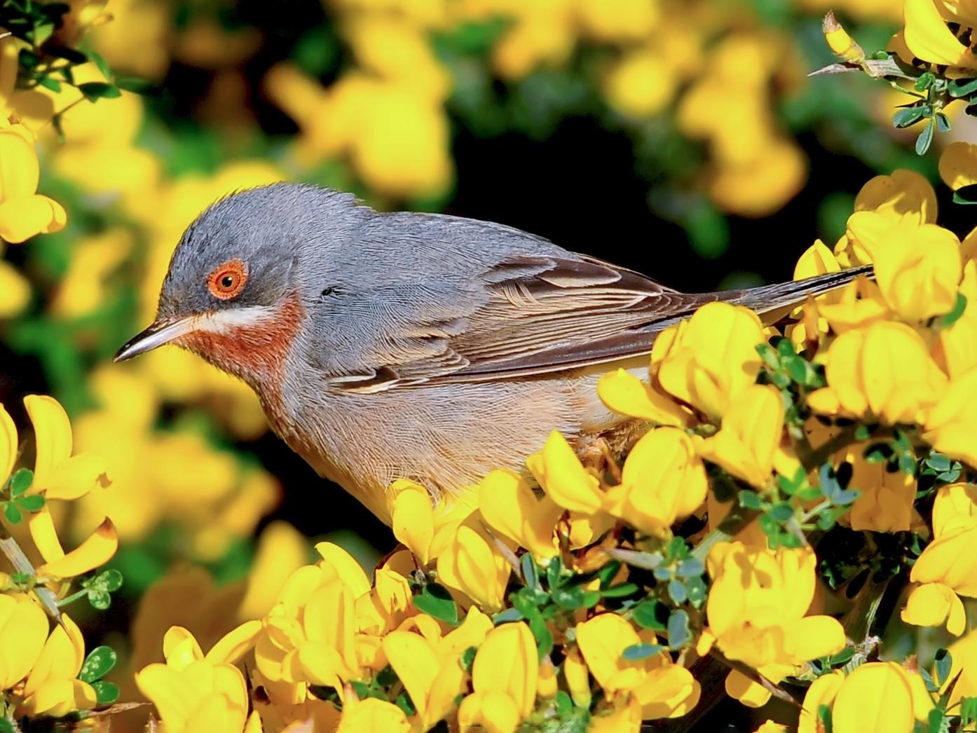 Eastern Subalpine Warbler - Yakup Şaşmaz