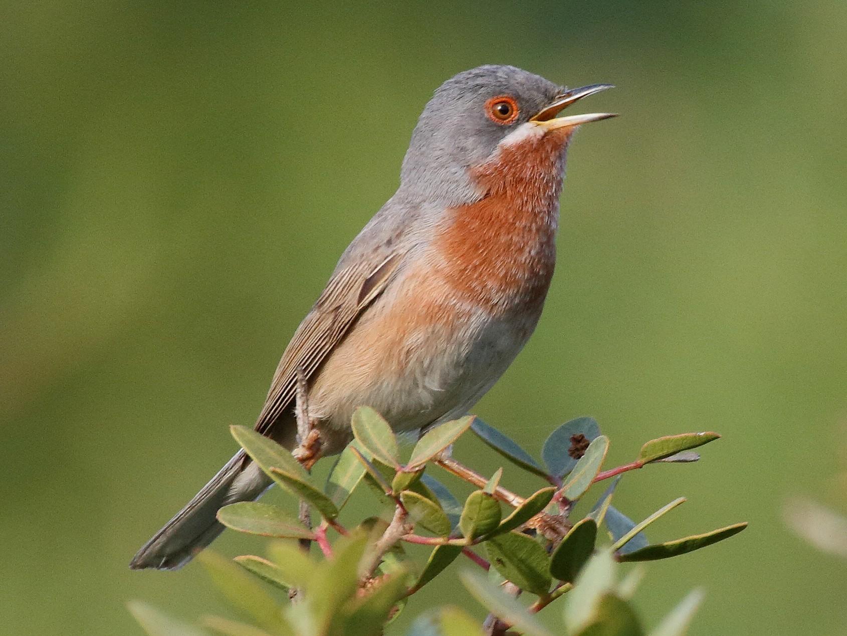 Eastern Subalpine Warbler - Patrick J. Blake