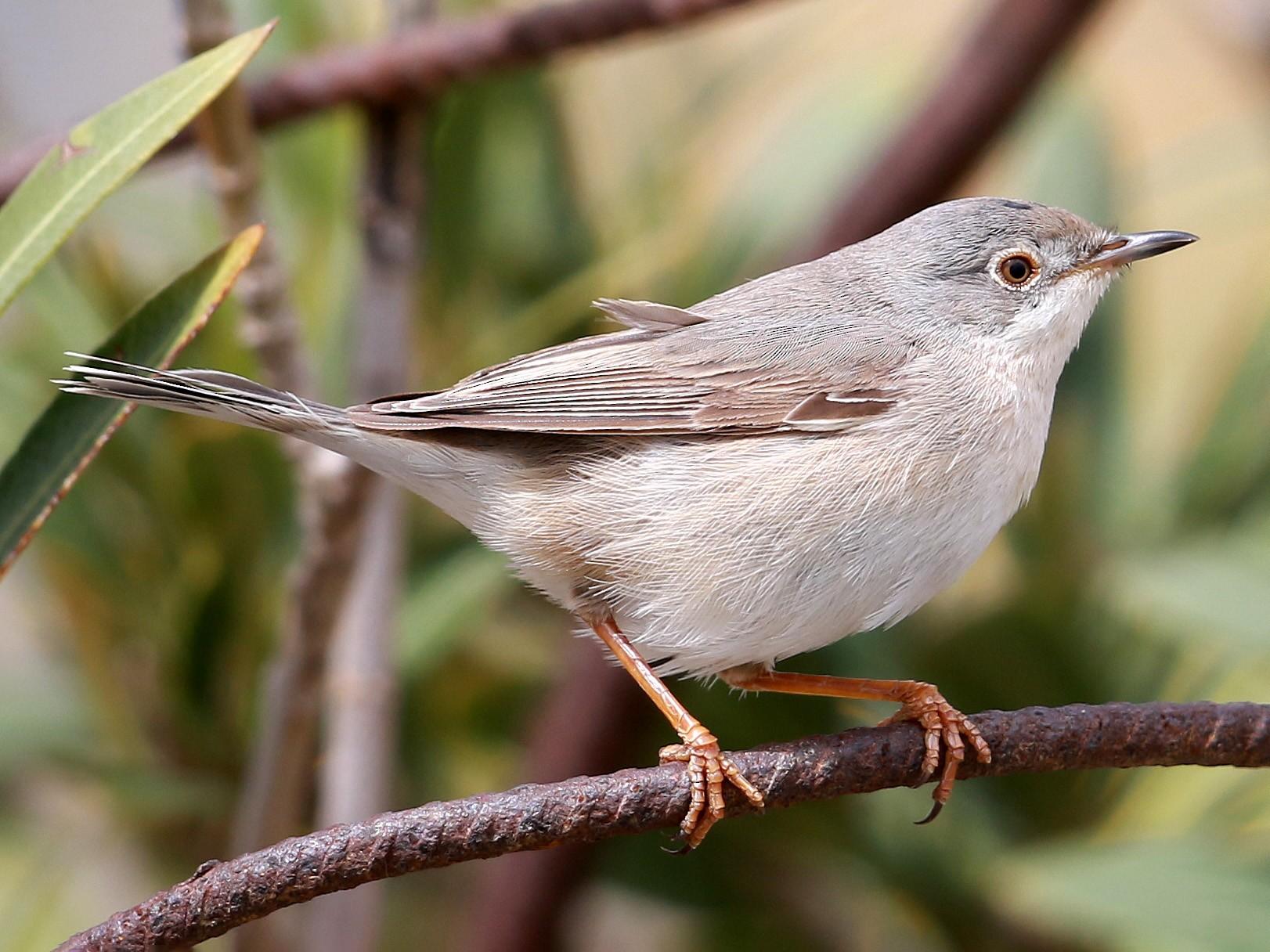 Eastern Subalpine Warbler - Fanis Theofanopoulos (ASalafa Deri)