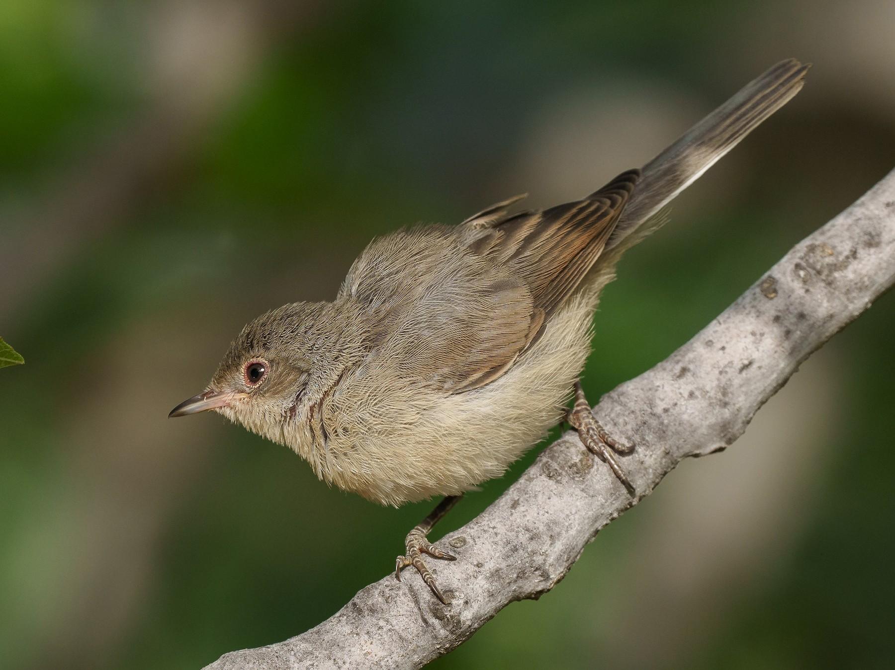 Eastern Subalpine Warbler - babur hakarar