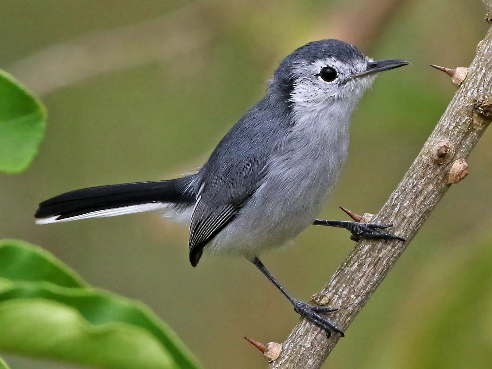 White-browed Gnatcatcher - Roger Ahlman