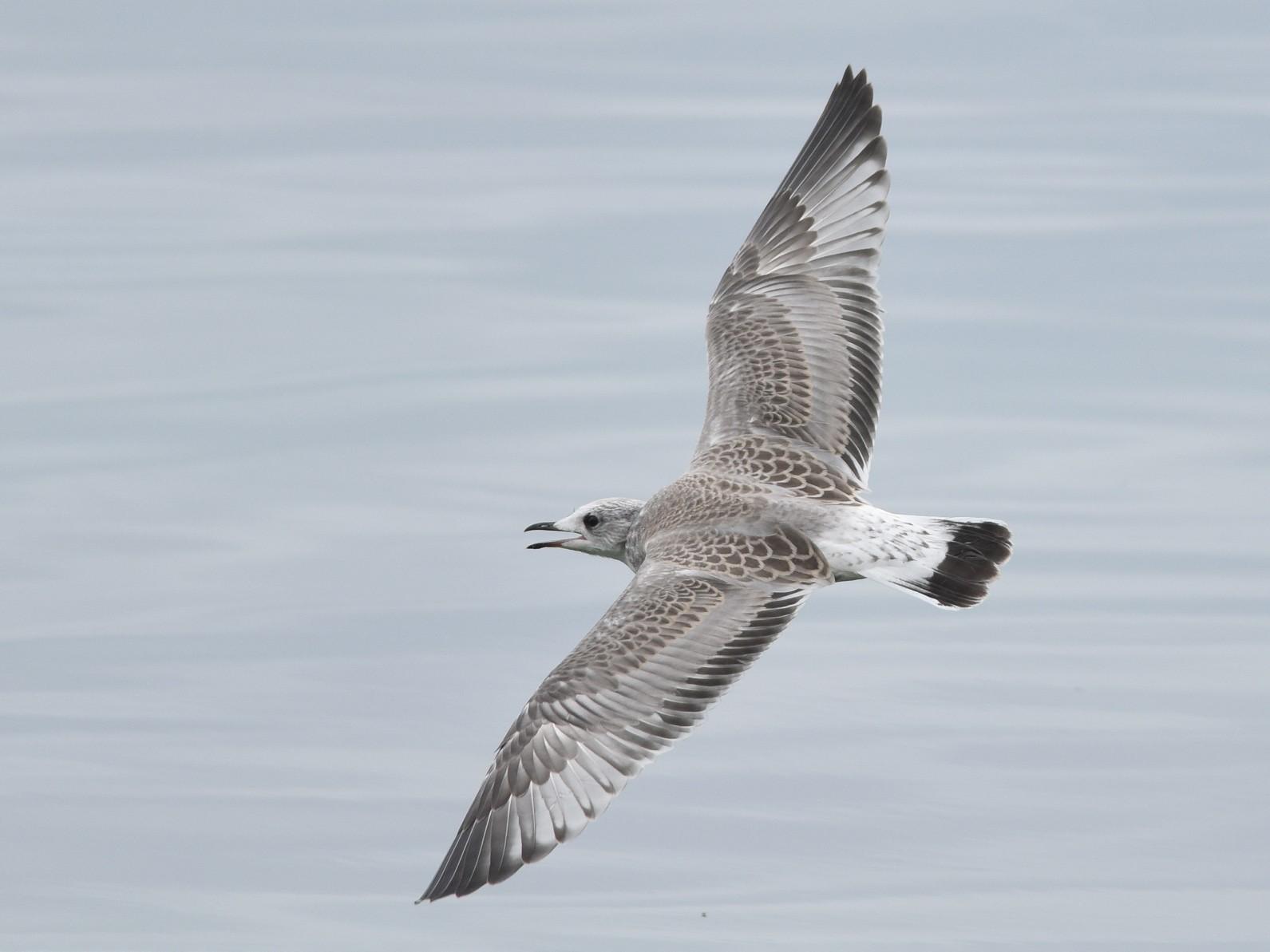 Common Gull - Sean Sime
