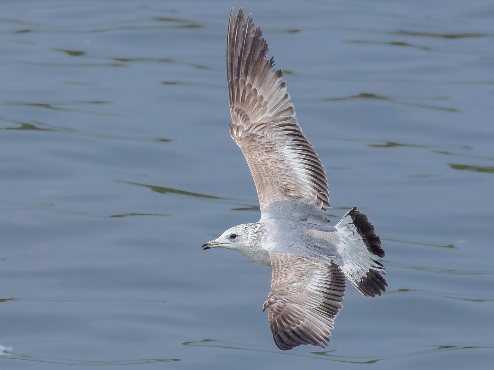 Common Gull - Natthaphat Chotjuckdikul