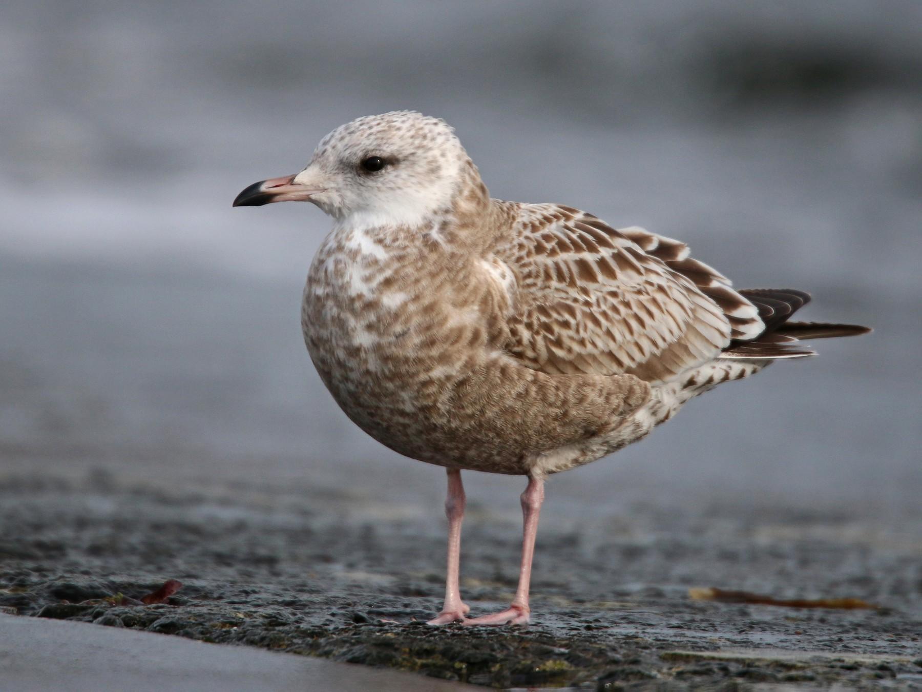 Common Gull - Ian Davies