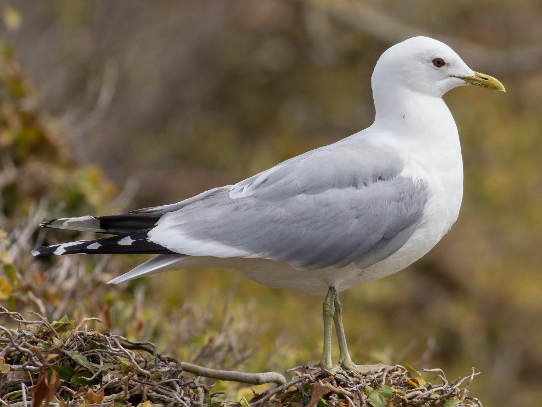 Common Gull - Andreas Boe
