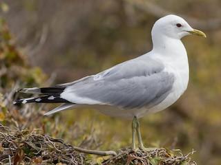 - Common Gull