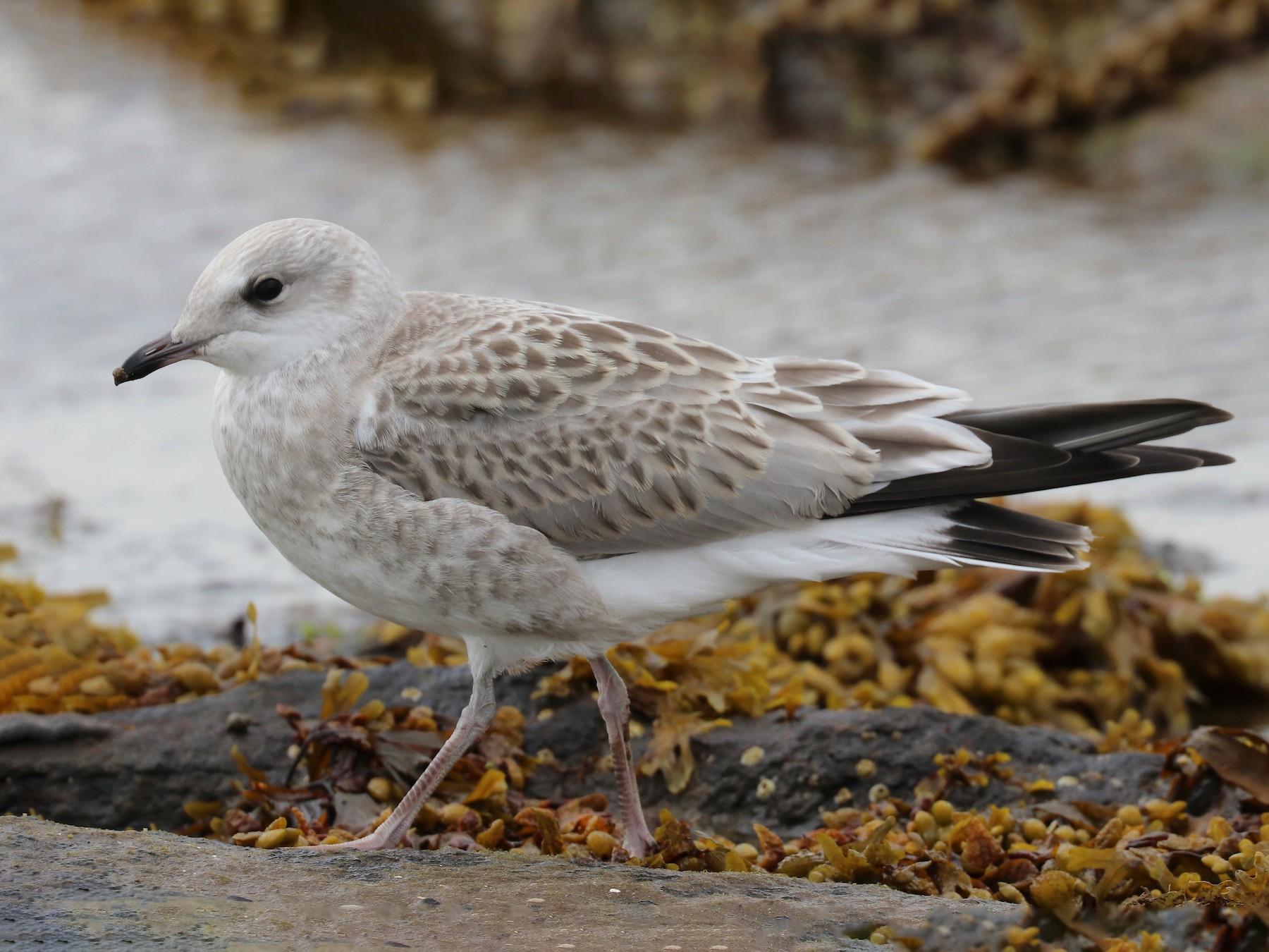 Common Gull - Bruce  Kerr