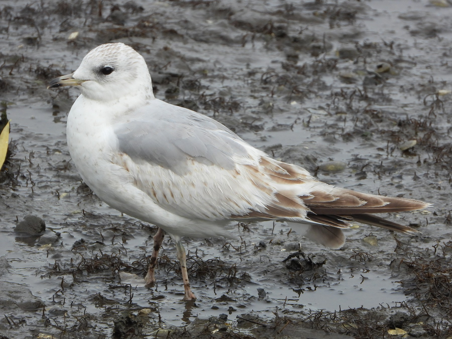 Common Gull - Ignacio Aparicio