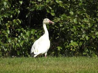 Snow Goose, ML362321041