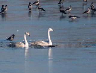 Whooper Swan, ML362554721