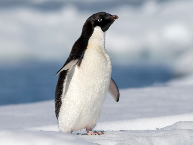 Adelie Penguin - Tom Johnson