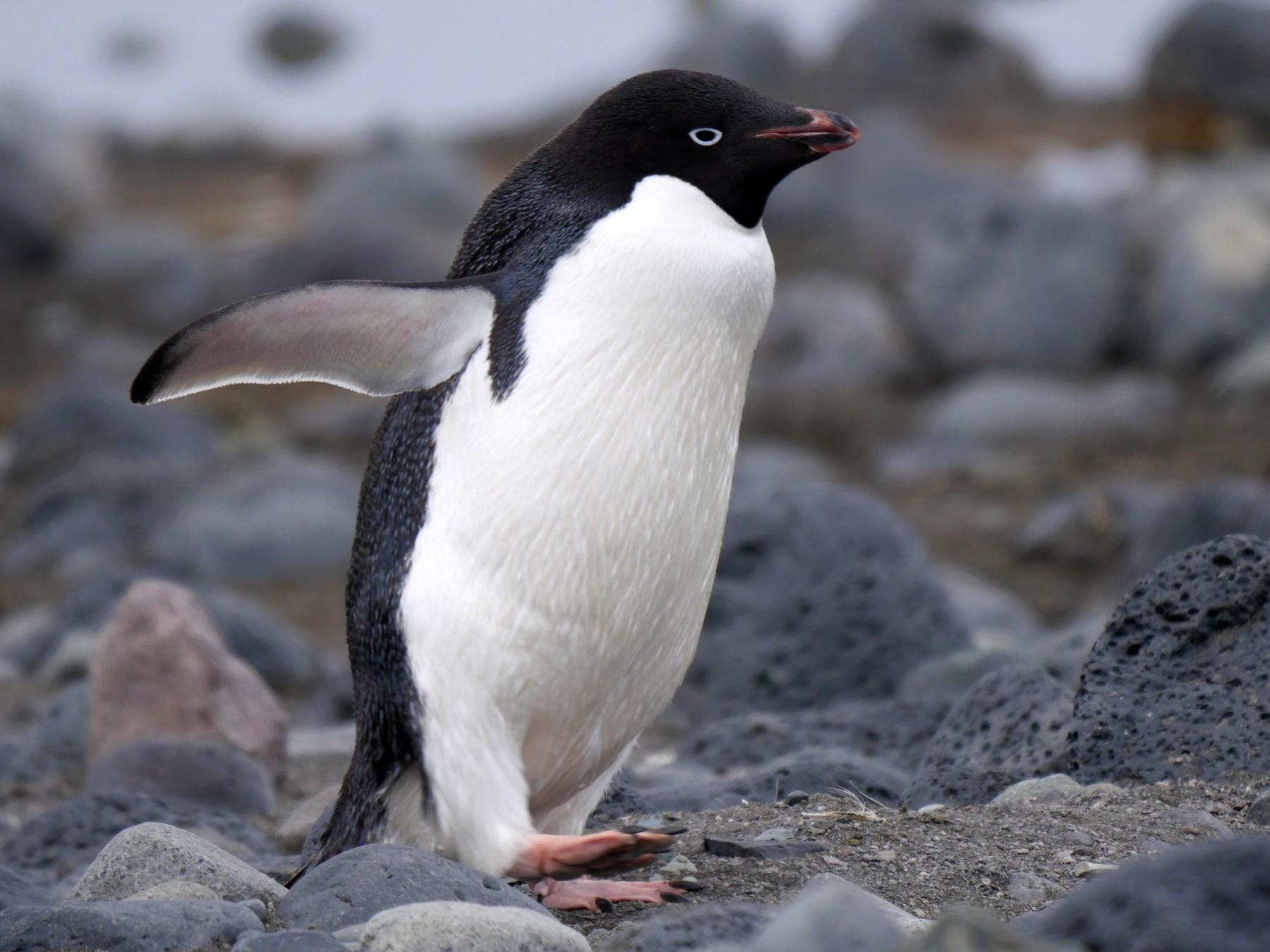 Adelie Penguin - Peter Lowe