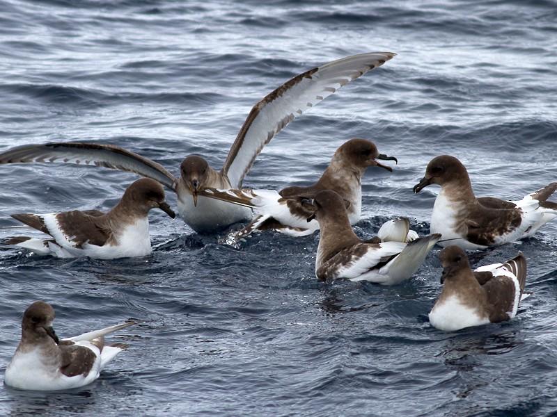 Antarctic Petrel - Raphael Lebrun