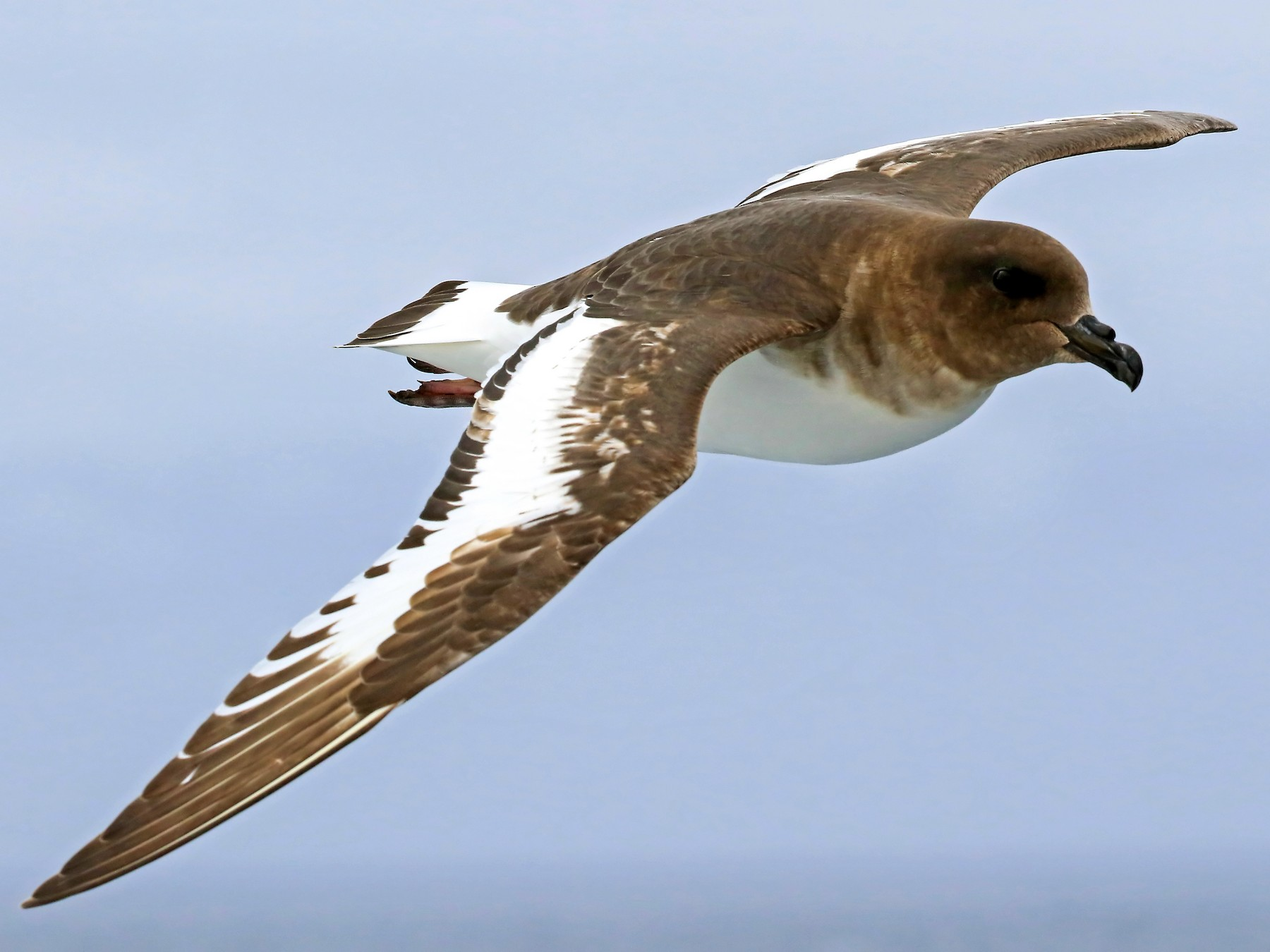Antarctic Petrel - Phillip Edwards