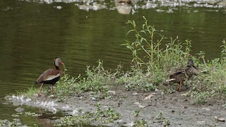 Black-bellied Whistling-Duck, ML362822221