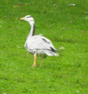 Bar-headed Goose, ML363069471
