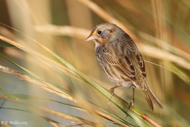 Nelson's Sparrow (Atlantic Coast)