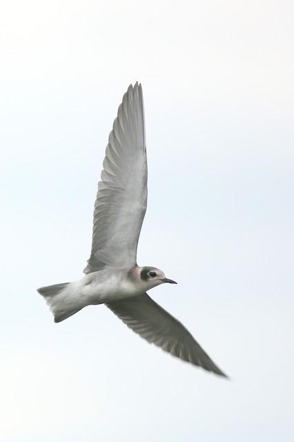 Black Tern (American)
