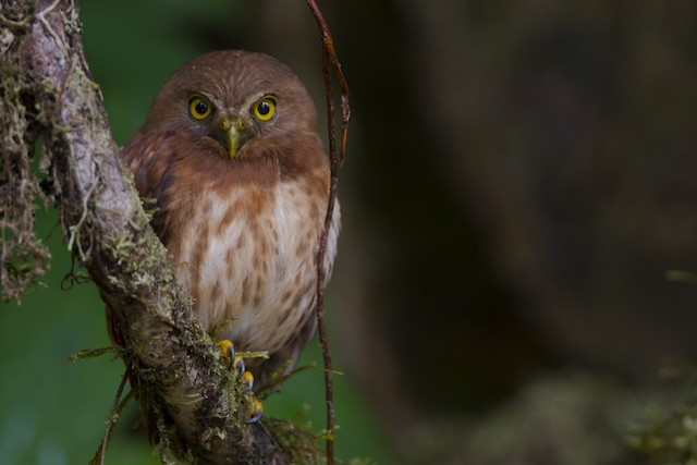 Cloud-forest Pygmy-Owl