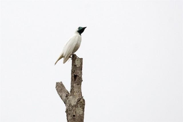 Bare-throated Bellbird
