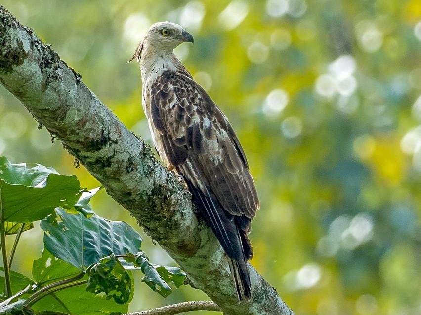 Philippine Honey-buzzard - Forest Jarvis