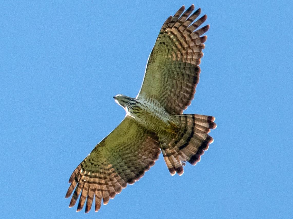 Philippine Honey-buzzard - Kevin Pearce
