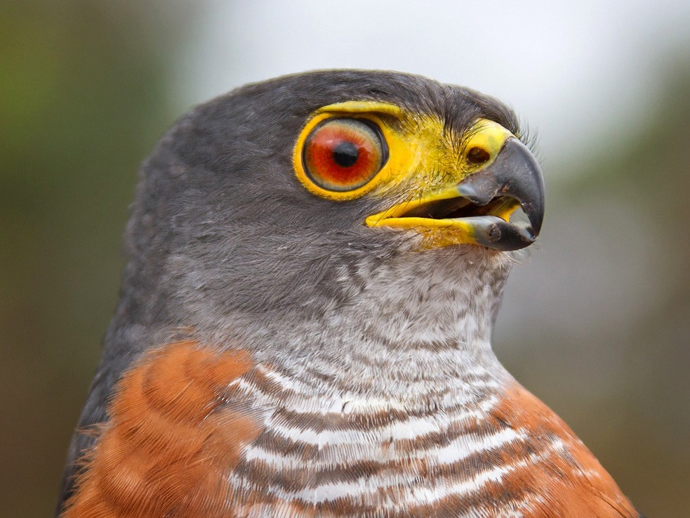Chestnut-flanked Sparrowhawk - Niall D Perrins