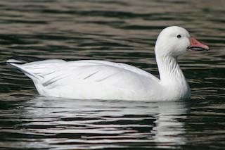 Snow Goose, ML36406651