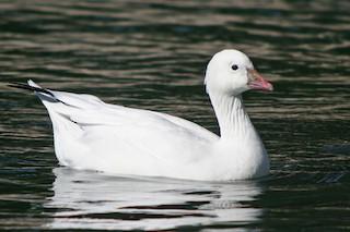 Ross's Goose, ML36406661