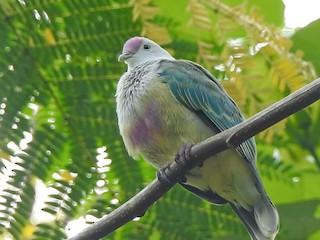 - Cook Islands Fruit-Dove