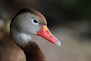Black-bellied Whistling-Duck, ML364453171