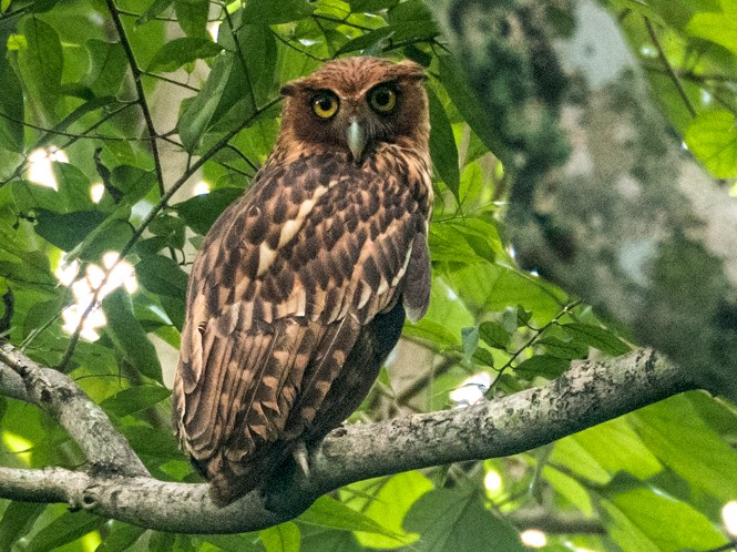 Philippine Eagle-Owl - Forest Jarvis