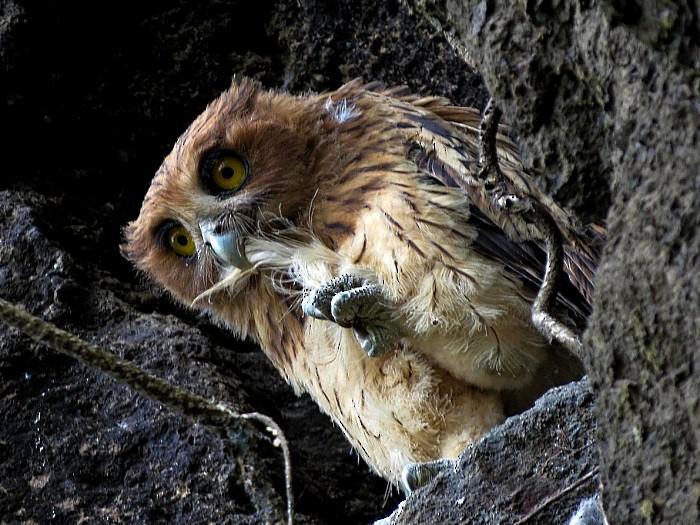 Philippine Eagle-Owl - Irene  Dy