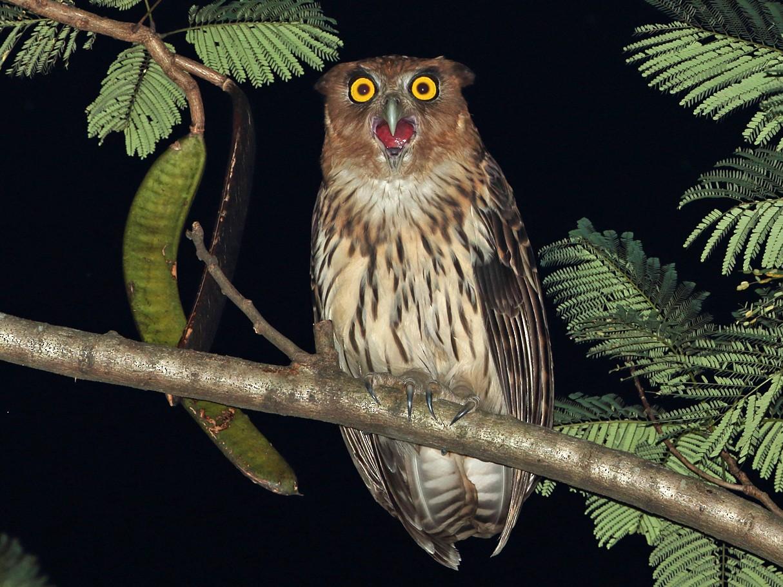 Philippine Eagle-Owl - Robert Hutchinson