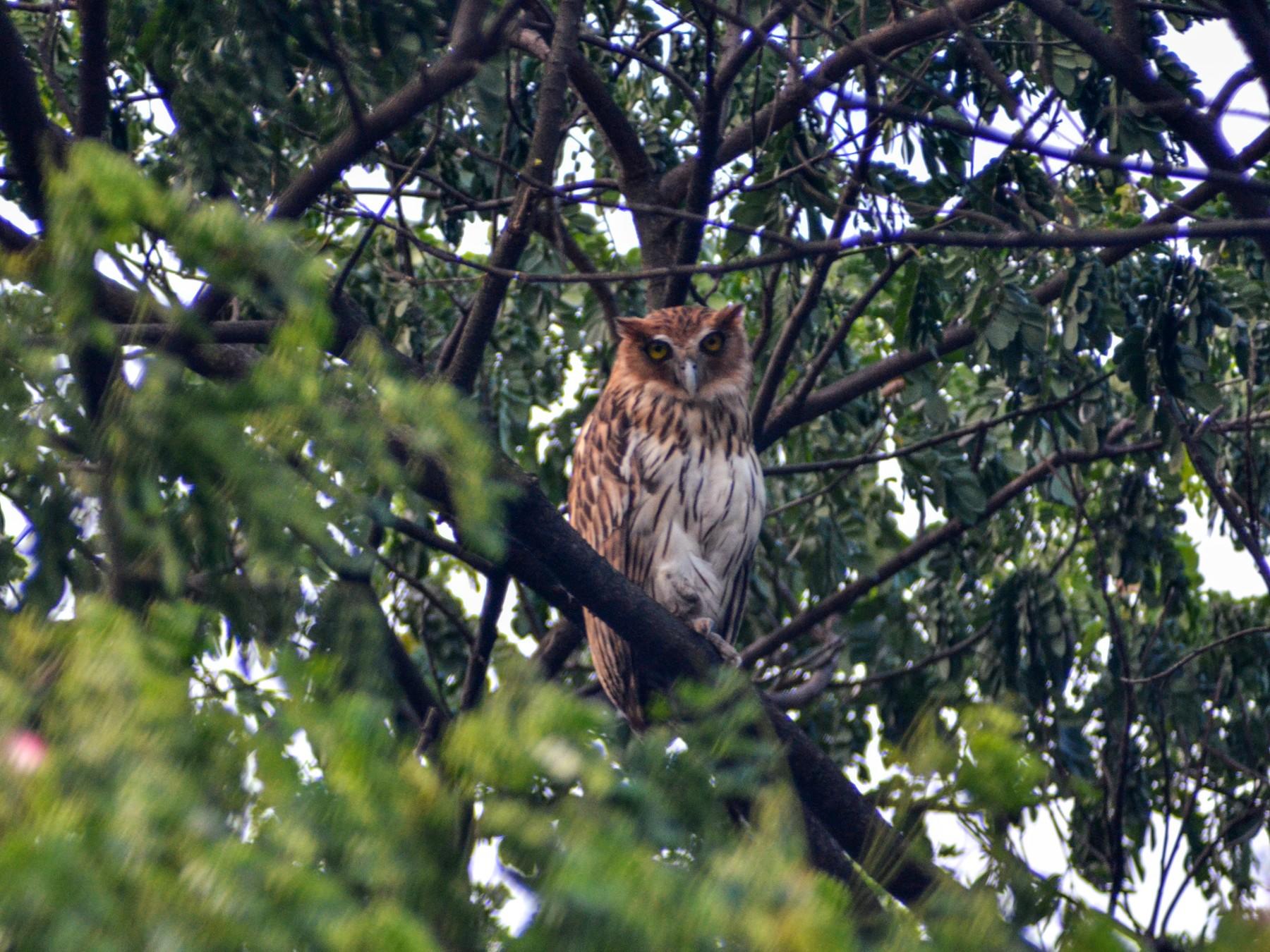Philippine Eagle-Owl - Jose Antonio (JJ) Sta Ana