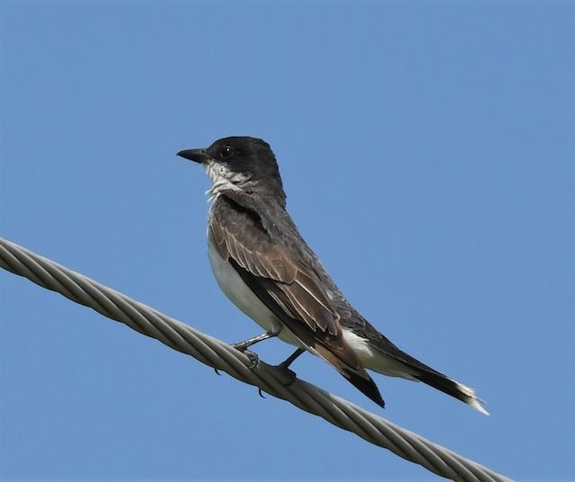 ©Estela Quintero-Weldon - Eastern Kingbird