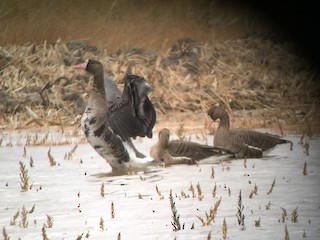 Greater White-fronted Goose, ML36566551