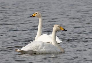 Whooper Swan, ML365685541