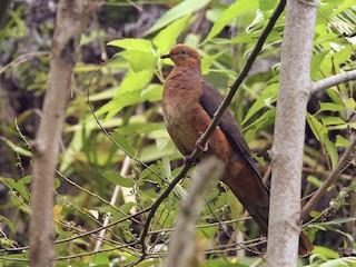 - Ruddy Cuckoo-Dove
