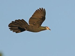 - Sula Cuckoo-Dove